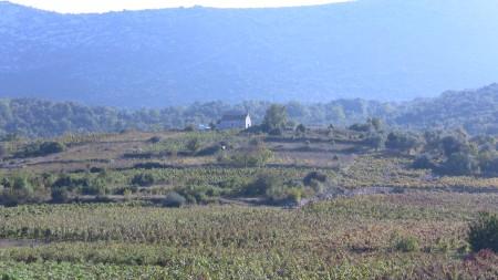 Vineyard on way to Korcula