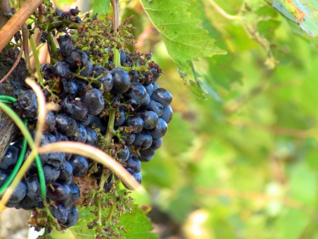 Nobile Grape